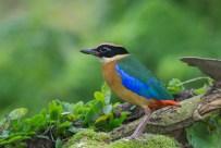 Blue-winged Pitta at Bidadari