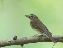 Brown-chested Jungle Flycatcher at Bidadari