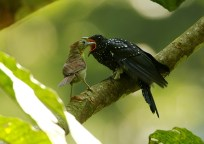 Christopher_Lee-Square-tailed Drongo-Cuckoo-1
