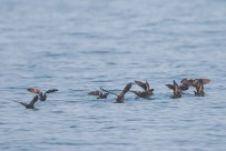 A group of Swinhoe's Storm Petrel momentarily resting on the water before taking off again.