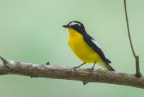 Frontal view of teh male Yellow-rumped Flycatcher.