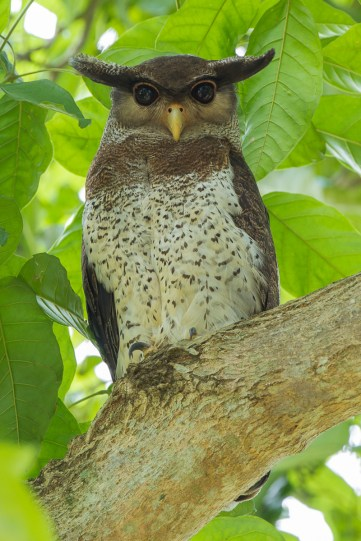Barred Eagle-Owl at Le Grandeur Palm Resort , Johor.
