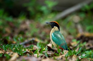 Noisy Pitta from Cairns. Unlike the kingfisher, some pittas remain in Australia throughout the winter. Photo by Wang Bin.