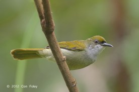 Male Plain Sunbird at Panti Forest. Photo Credit: Con Foley