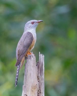 Adult Plaintive Cuckoo at Pasir Ris Park. Photo Credit: See Toh Yew Wai