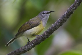 Female Copper-throated Sunbird at Sungei Buloh Wetland Reserve. Photo Credit: Alan Ng