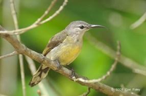 Female Copper-throated Sunbird at Pulau Ubin. Photo Credit: Con Foley