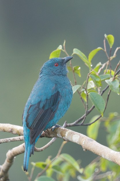 Female Asian Fairy-bluebird at Jelutong Tower. Photo credit: Francis Yap