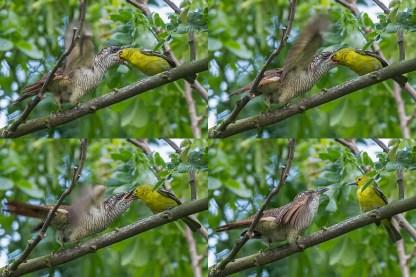 Juvenile Banded Bay Cuckoo being fed by Common Iora at Lorong Halus. Photo Credit: Francis Yap