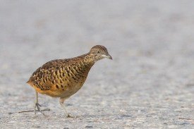 Male Barred Buttonquail at Lorong Halus. Photo Credit: Francis Yap