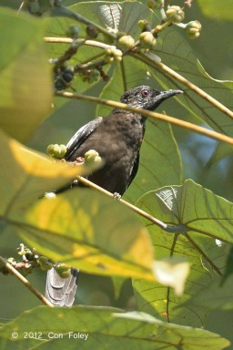 Female Black-and-white Bulbul at Panti Forest. Photo Credit: Con Foley
