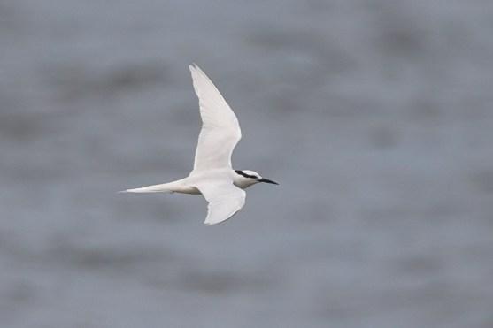 Black-naped Tern at Punggol Beach. Photo Credit: Francis Yap