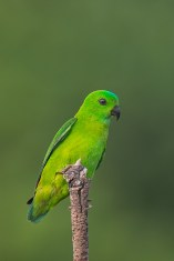 Female Blue-crowned Hanging Parrot at Jelutong Tower. Photo Credit: Francis Yap