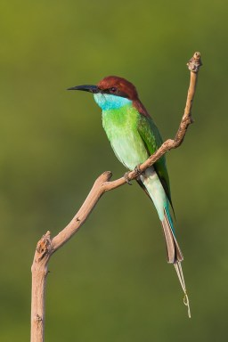 Blue-throated Bee-eater at Jelutong Tower. Photo credit: Francis Yap