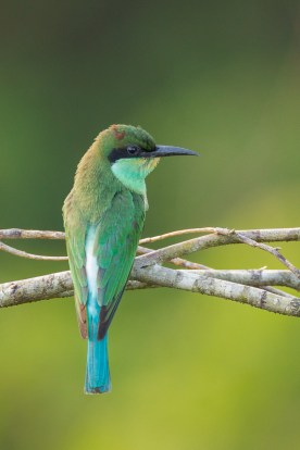 Juvenile Blue-throated Bee-eater at Jelutong Tower. Photo Credit: Francis Yap