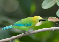 Male Blue-winged Leafbird at Jelutong Tower. Photo Credit: See Toh Yew Wai