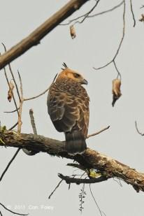 Juvenile Blyth's Hawk Eagle at Panti Bird Sanctuary. Photo credit: Con Foley