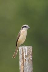 Male Brown Shrike (ssp confusus) from Jurong West Street 22. Photo credit: Francis Yap