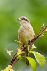 Juvenile Brown Shrike (ssp confusus). Photo credit: Goh Cheng Teng