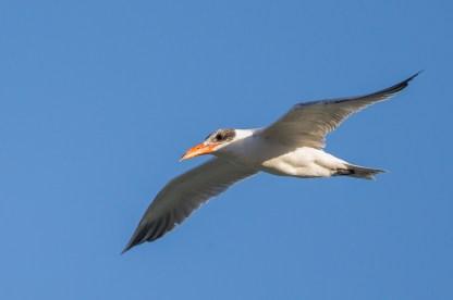 Caspian Tern, non-breeding in Queensland, Australia. Photo Credit: Francis Yap