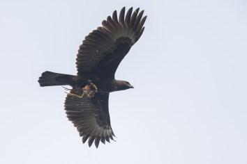 Dark morph Changeable Hawk-Eagle at Lorong Halus. Photo Credit: Francis Yap