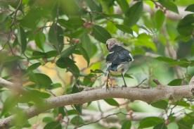 Chestnut-cheeked Starling. Photo Credit: Mohamad Zahidi