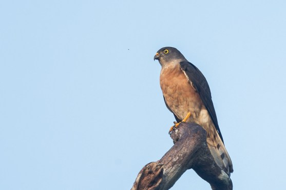 Adult female Chinese Sparrowhawk at Rifle Range Link. Photo Credit: Francis Yap