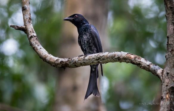 Crow-billed Drongo at Bidadari. Photo Credit: Solomon Anthony