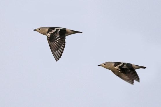 Daurian Starling. Photo credit: Henry Koh