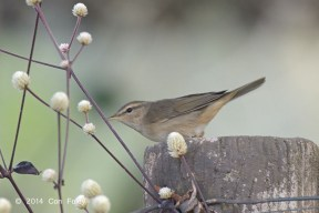 Dusky Warbler from Lake Chiang Saen, Thailand. Photo Credit: Con Foley