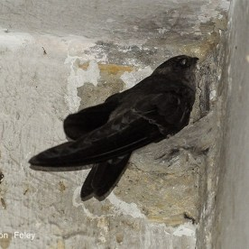 Edible-nest Swiftlet. Photo credit: Con Foley