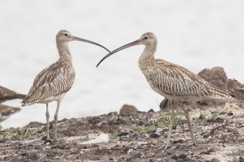Eurasian Curlew at SBWR. Photo credit: Francis Yap
