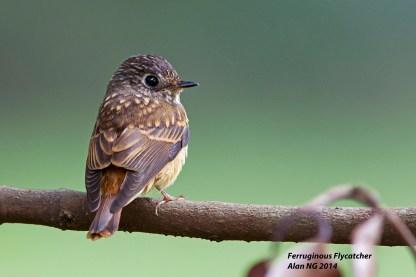 Juvenile Ferruginous Flycatcher at Bidadari. Photo Credit: Alan Ng