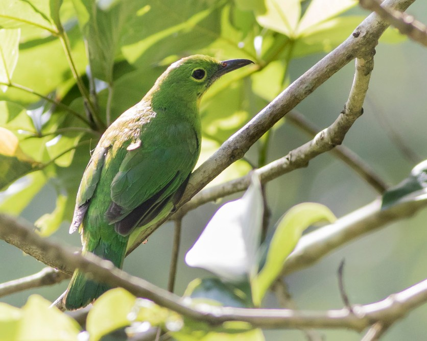 Female Greater Green Leafbird at Dillenia Hut. Photo Credit: See Toh Yew Wai