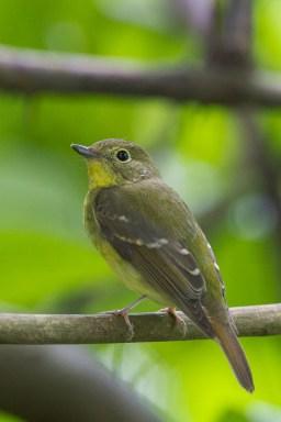 Green-backed Flycatcher at Bidadari. Photo Credit: Francis Yap