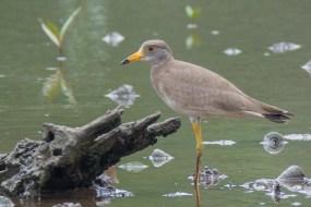 Juvenile Grey-headed Lapwing at SBWR. Photo Credit: Francis Yap