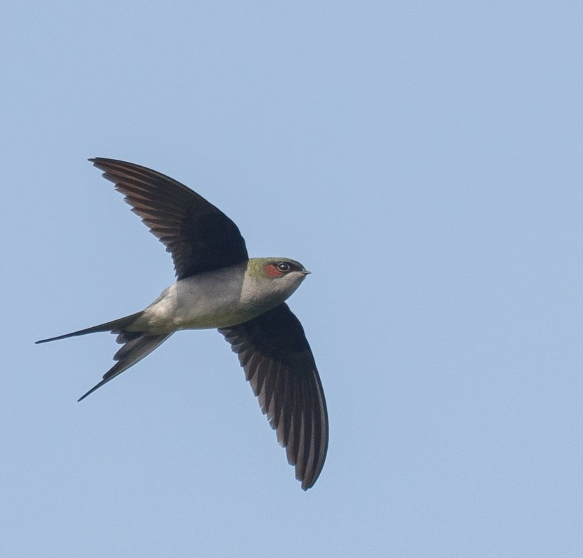 Male Grey-rumped Treeswift at Jelutong Tower. Photo credit: Francis Yap