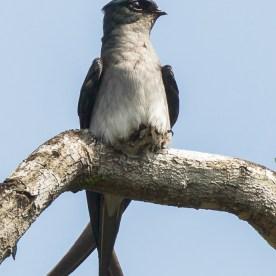 Female Grey-rumped Treeswift incubating egg at Mandai. Photo credit: Francis Yap