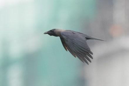 House Crow at Punggol. Photo Credit: Francis Yap