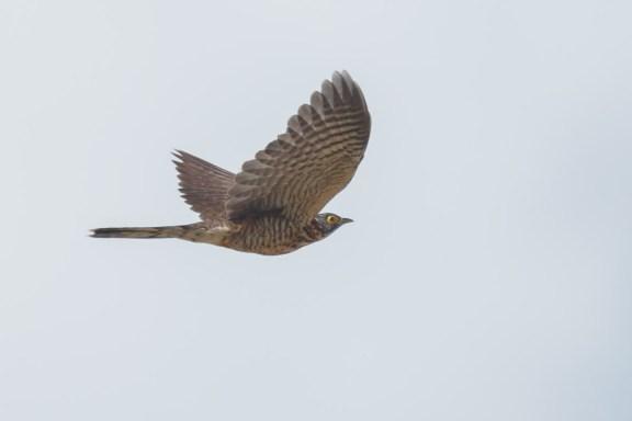 Juvenile Large Hawk-Cuckoo at Tuas. Photo Credit: Francis Yap