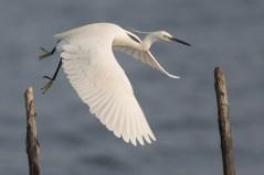 Little Egret at Eagle Point. Photo Credit: Francis Yap
