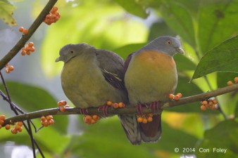Little Green Pigeon at Panti Forest. Photo Credit: Con Foley