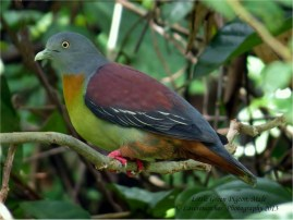 Male Little Green Pigeon at Panti Forest. Photo Credit: Lawrence Cher