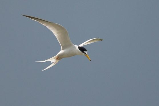 Breeding plumage Little Tern at Punggol Beach. Photo Credit: Francis Yap