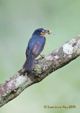 Female Mangrove Blue Flycatcher from Pulau Ubin. Photo Credit: Lawrence Neo