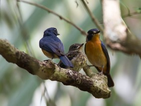 Mangrove Blue Flycatcher family from Pulau Ubin. Photo Credit: Lawrence Neo