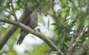 Mountain Imperial Pigeon at Pulau Ubin. Photo Credit: Zahidi