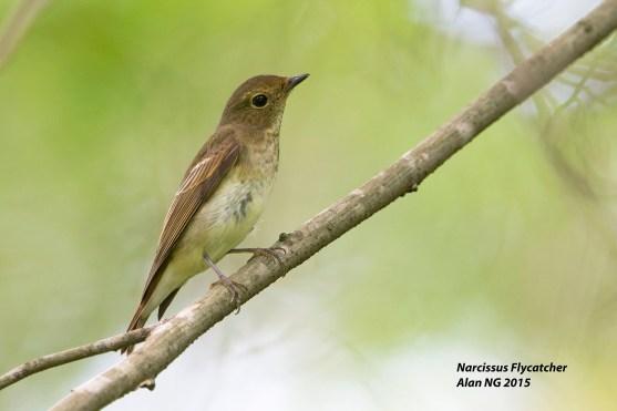 Narcissus Flycatcher (female) from Bidadari. Photo credits: Alan Ng