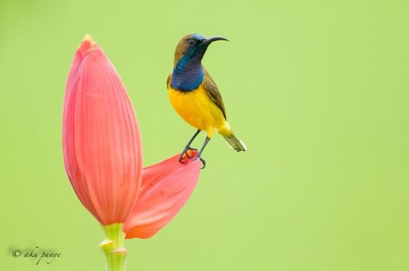 Male Olive-backed Sunbird. Photo Credit: Zahidi Hamid