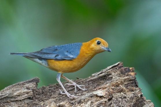 Orange-heade Thrush - ssp innotata - at Hindhede Park. Photo credit: Francis Yap